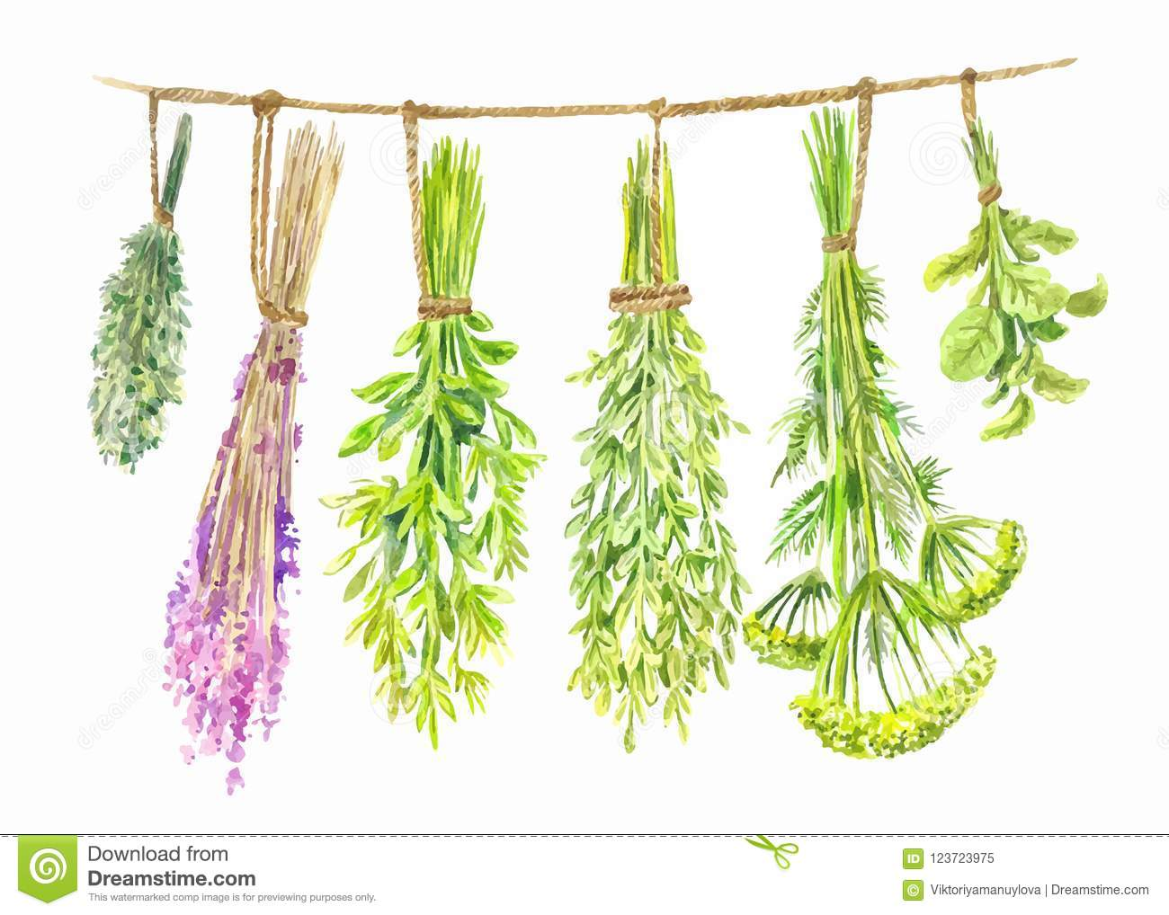 Herbs are dried on a string. Watercolor summer illustration
