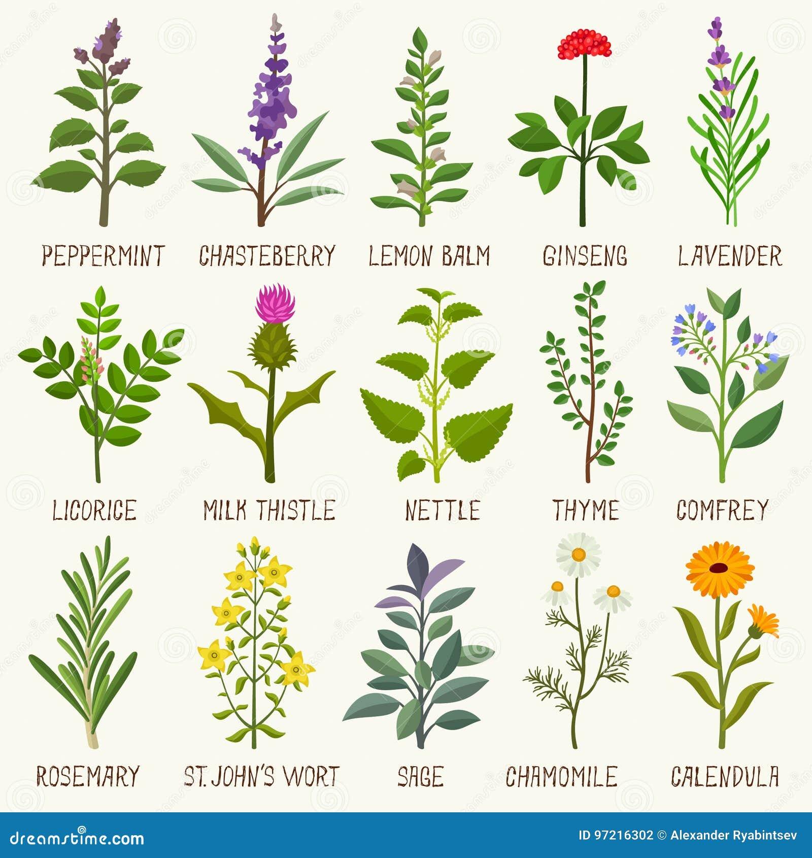 Herbs set stock vector  Illustration of design, chamomile