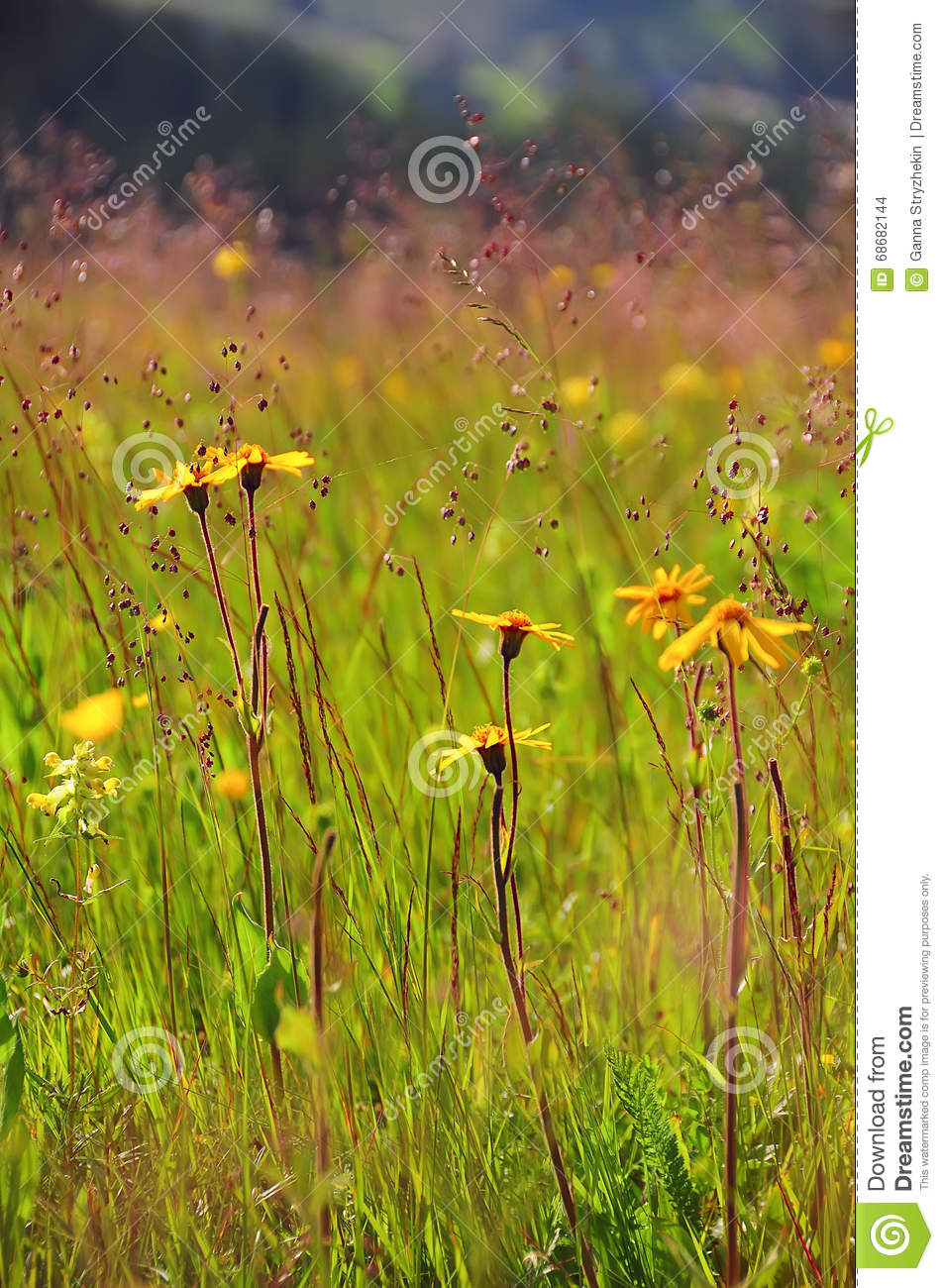 Herbs Summer Wild Yellow Flowers Stock Photo Image Of Meadow