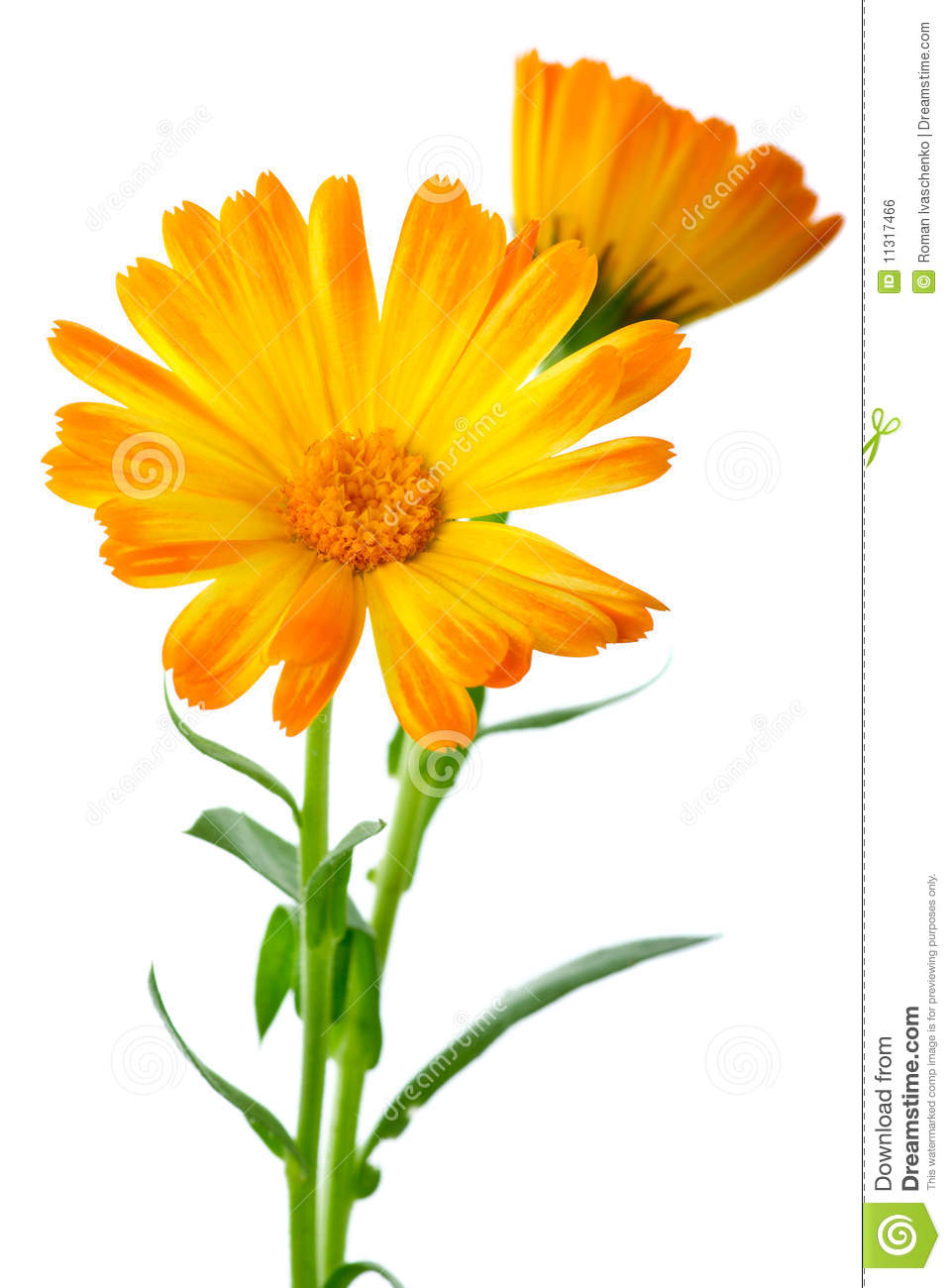 Displaying (20) Gallery Images For Calendula Flower Clip Art...