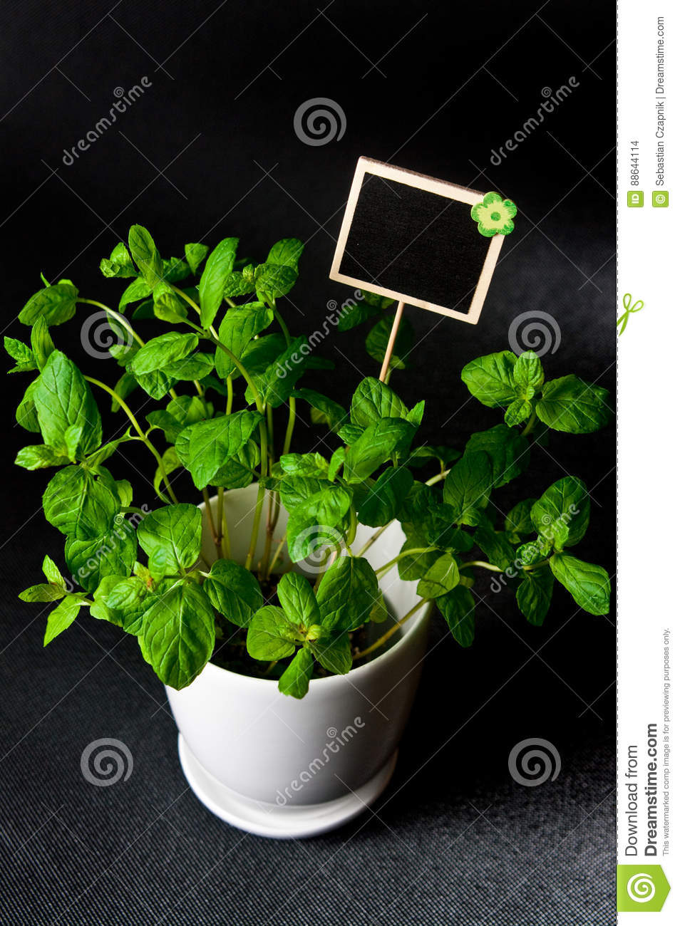 Herbs in white pot on black background Mint