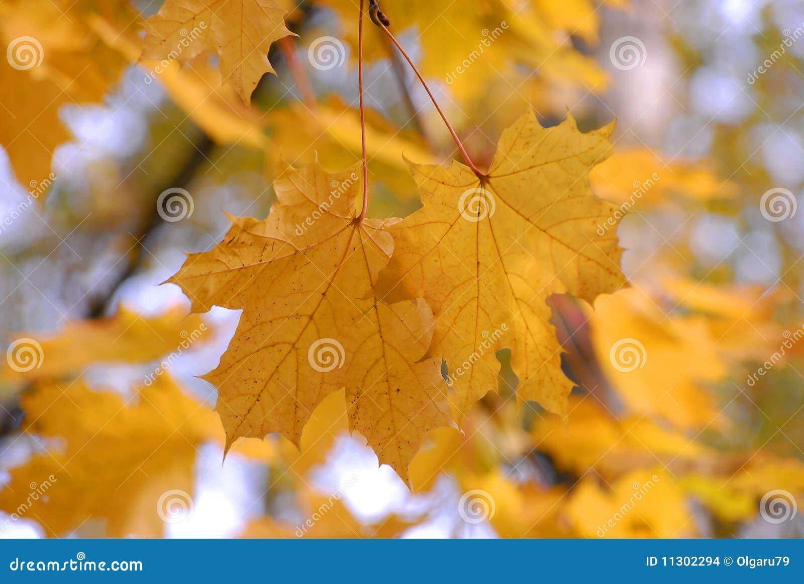 Herbst. Ahornholzgelburlaub