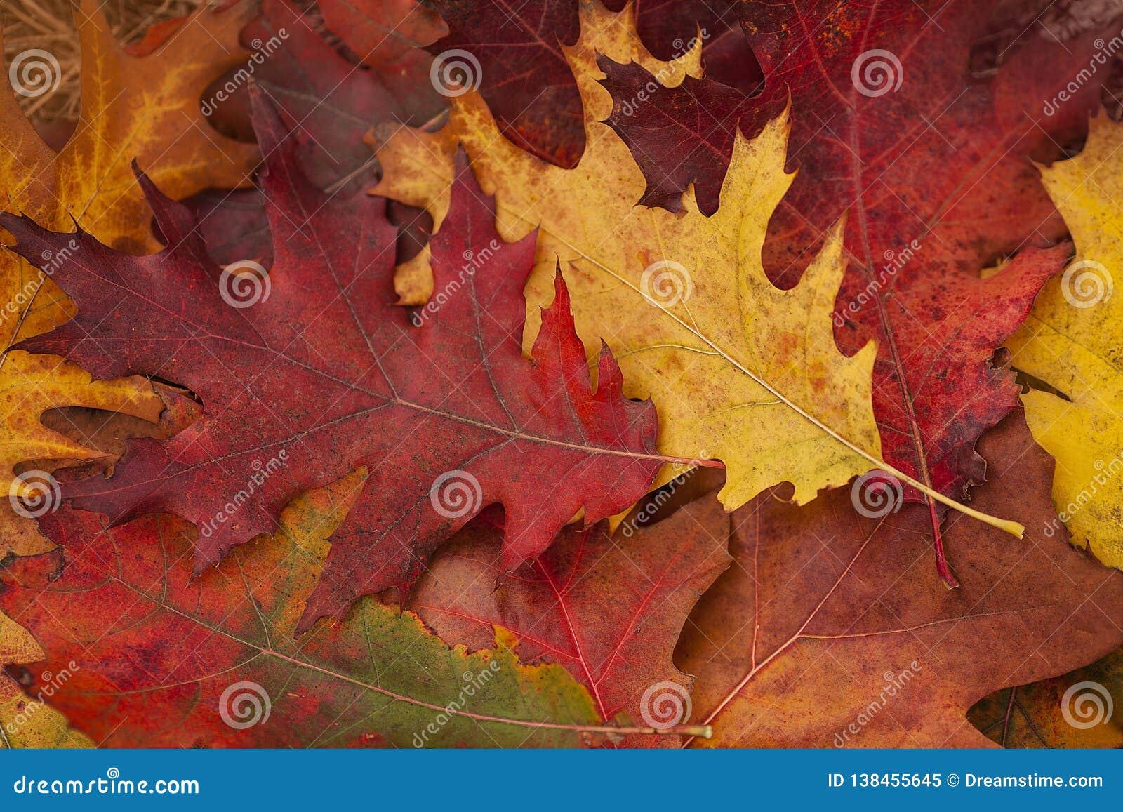 Herbst Bunte Eiche lässt Lüge auf dem Gras