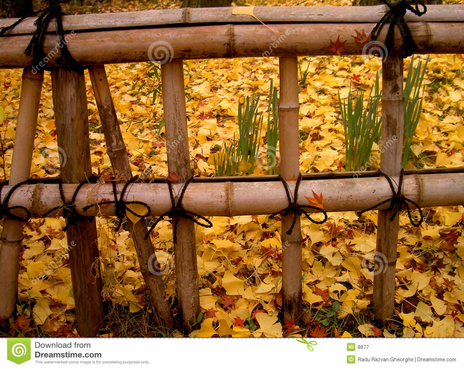 Herbst-Japanerzaun