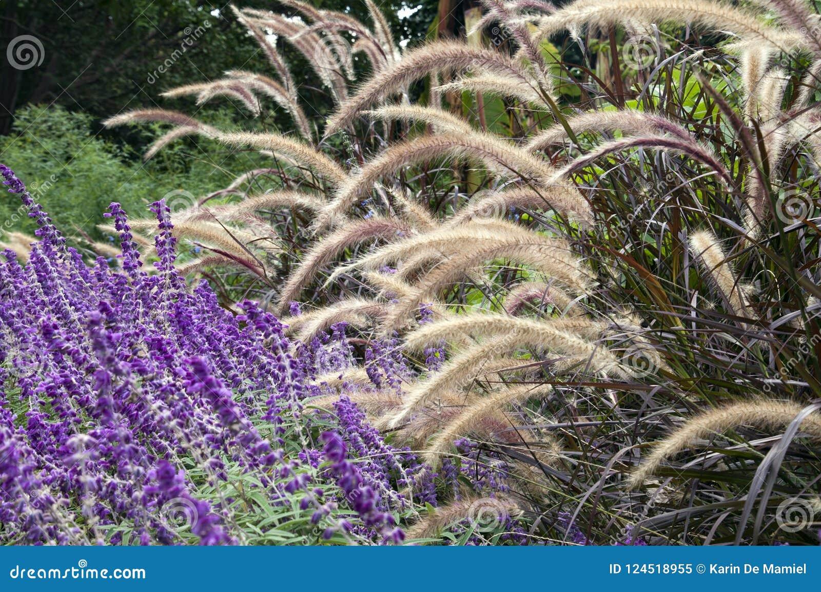 Herbst purpurrote salvias und dekorative Gräser