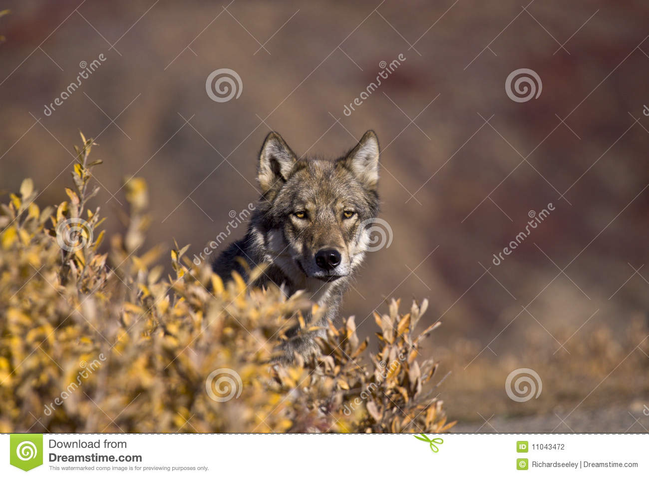 Herbst-Wolf Frontview