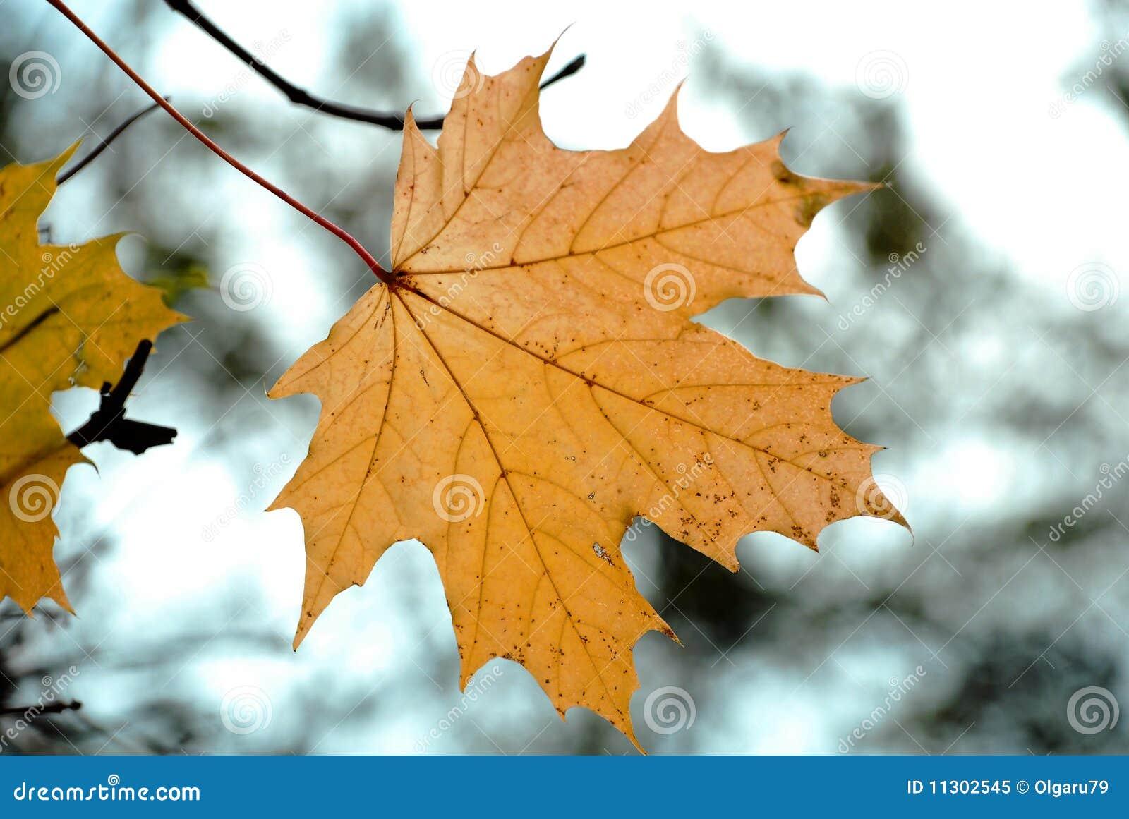 Herbstahornholzurlaub