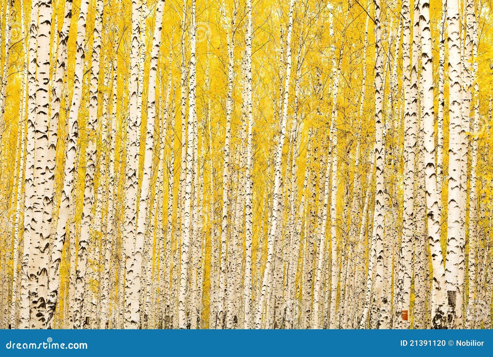 Herbstbirkenwald