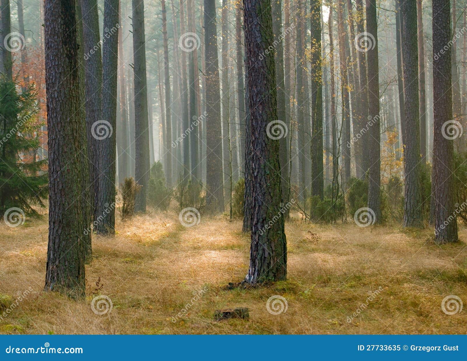 Herbstkieferwald