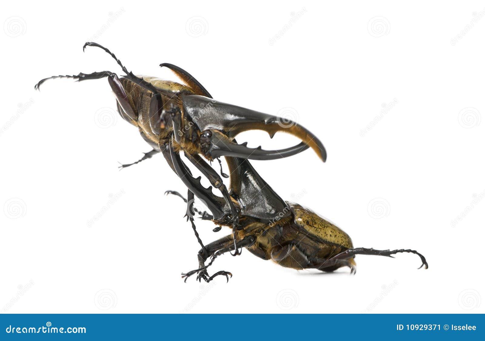 Hercules beetles fighting
