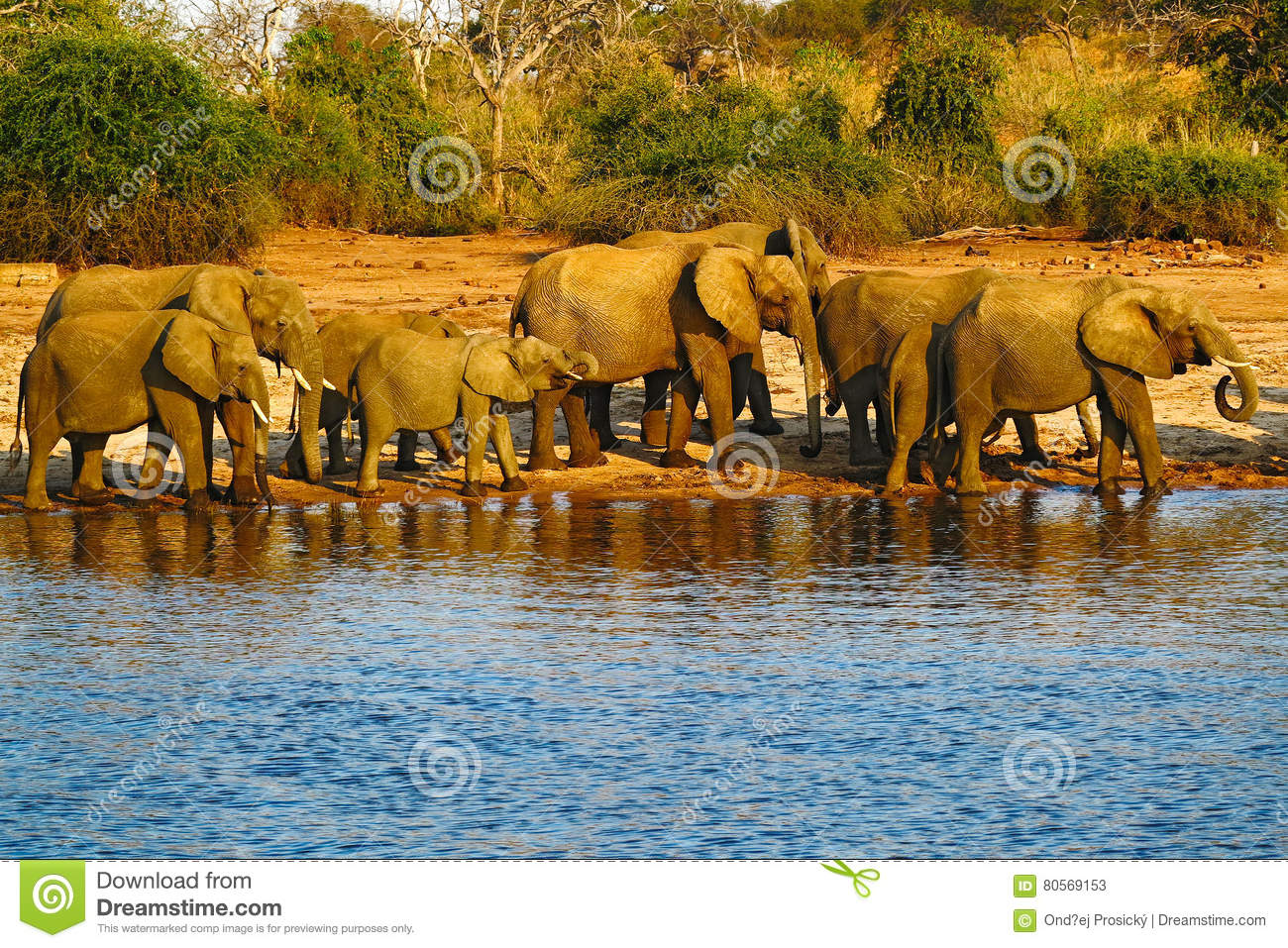 A herd of African elephants drinking at a waterhole lifting their trunks, Chobe National park, Botswana, Africa. Wildlife scene wi