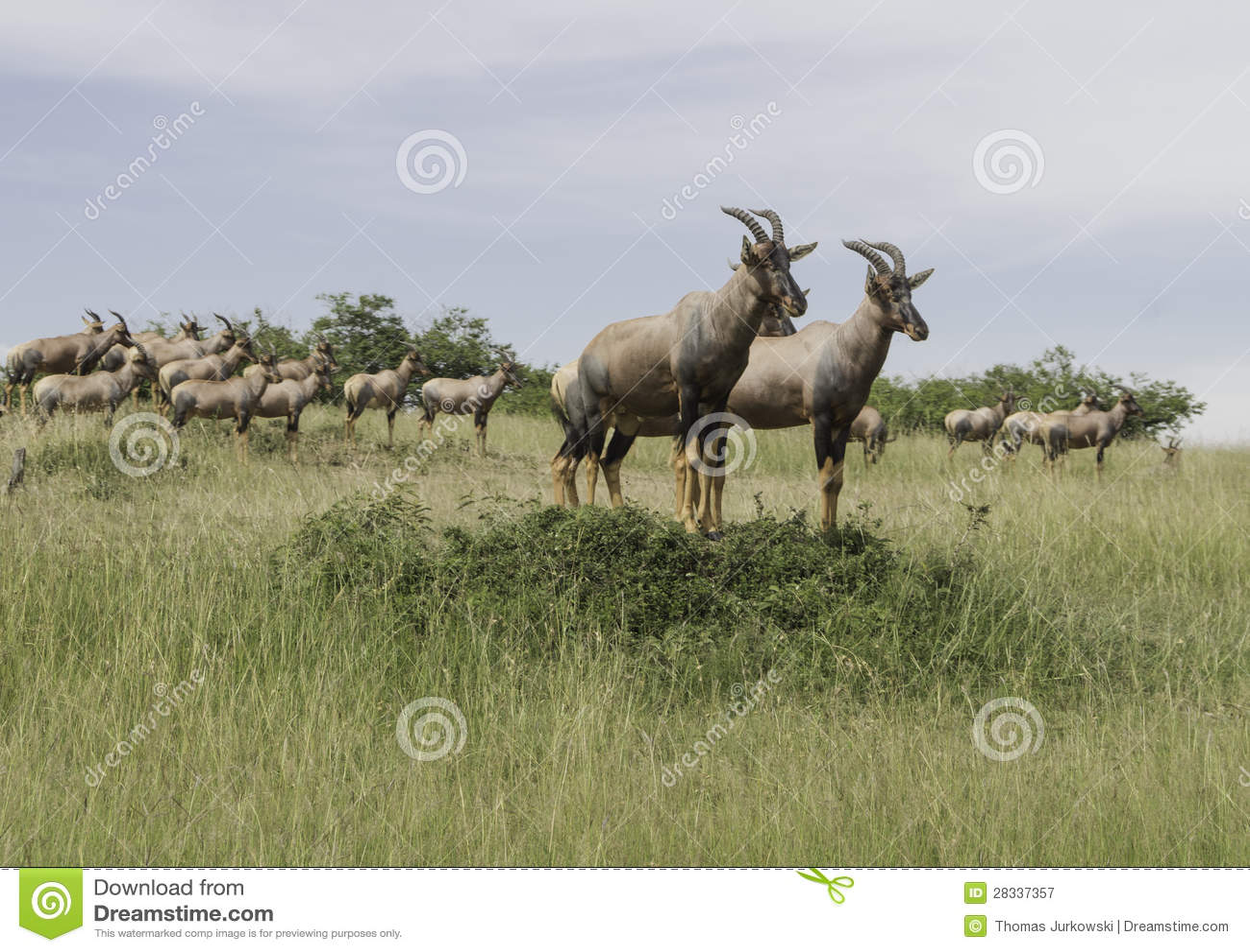 A herd of antelope Topi