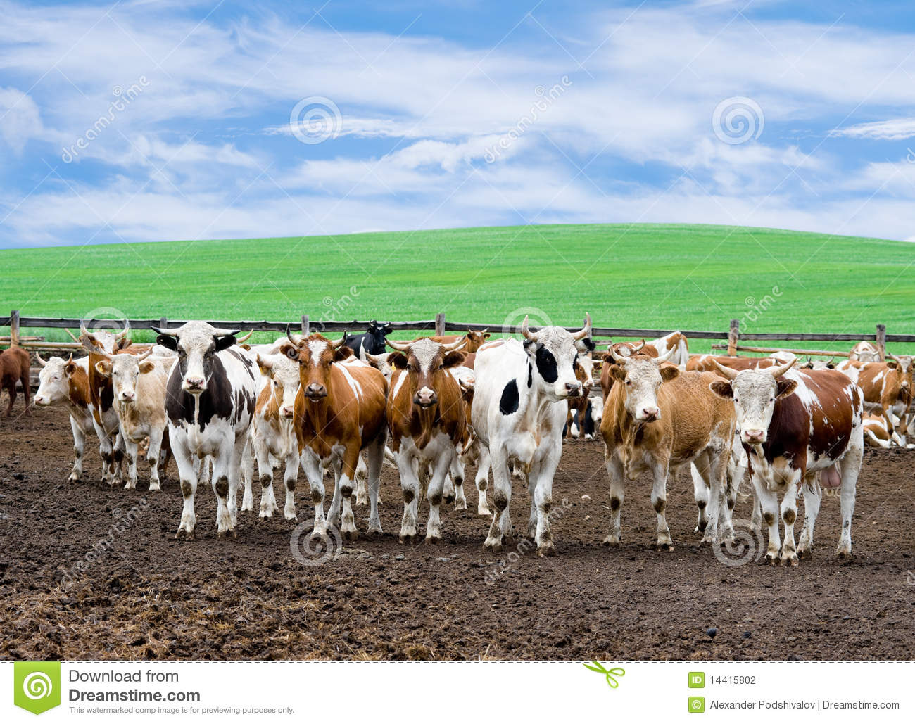 Herd of beef cattle at farm