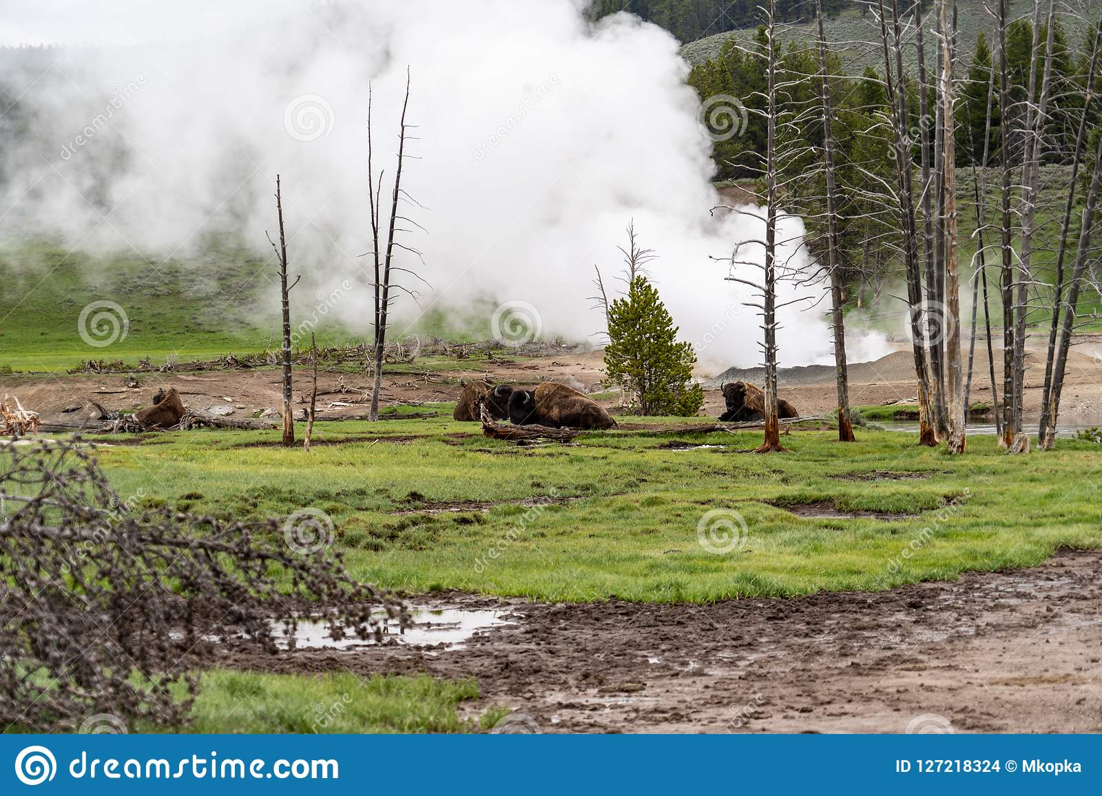 Herd Of Bison Relaxing And Resting Near A Steaming Geyser