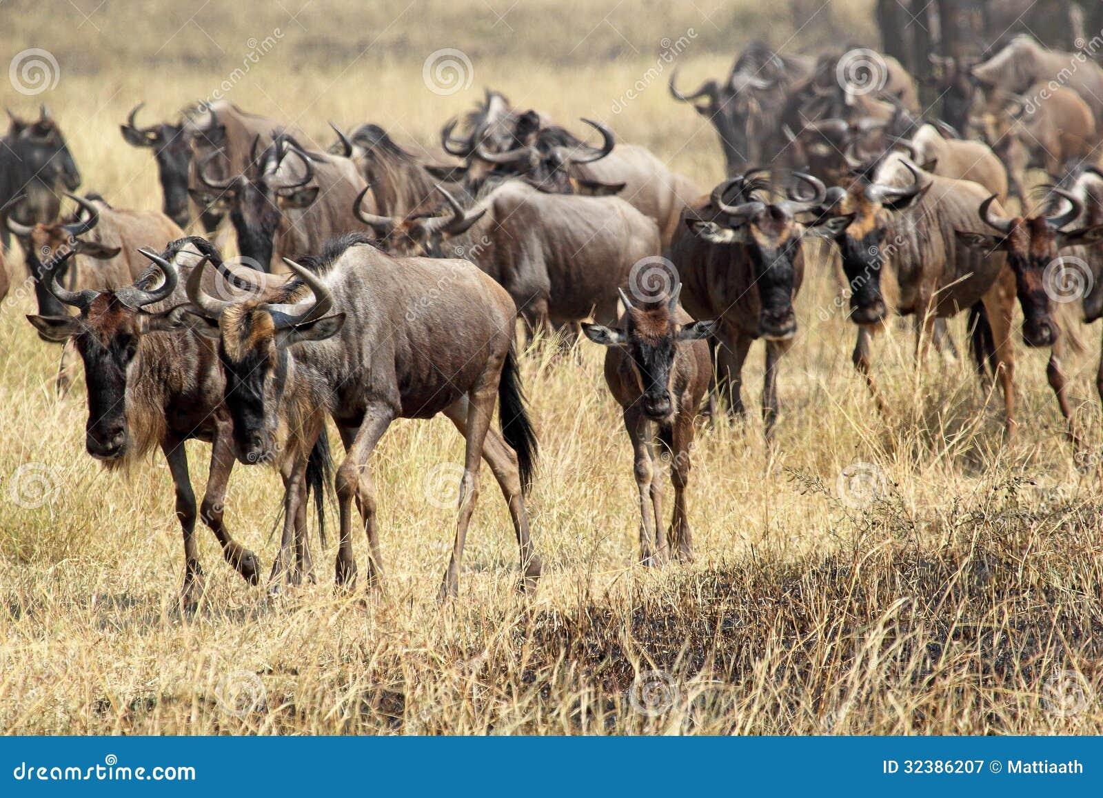Serengeti great migration youtube downloader