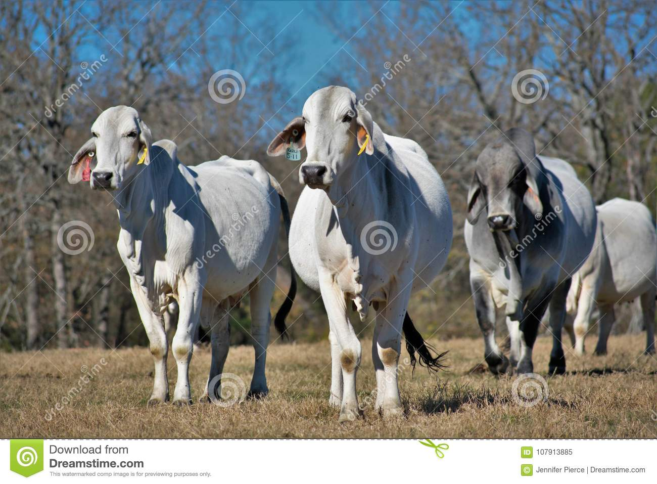 Brahma Cow Herd Editorial Image Image Of Cattle Horn