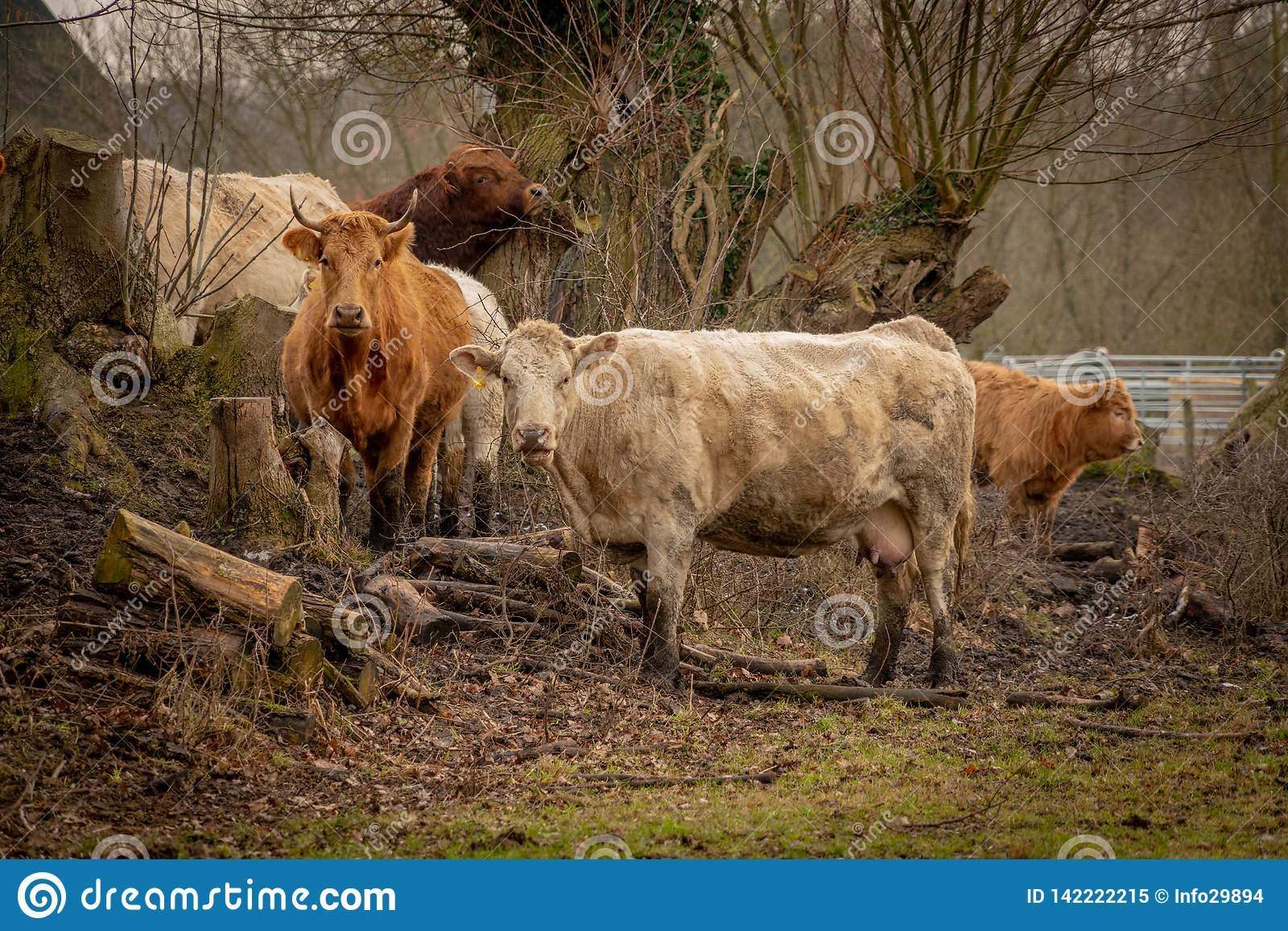 Herd of brown cows looking into the camera