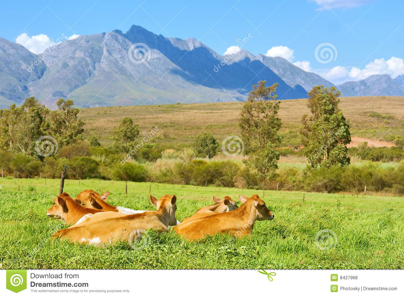 Herd of cow on grass in mountains