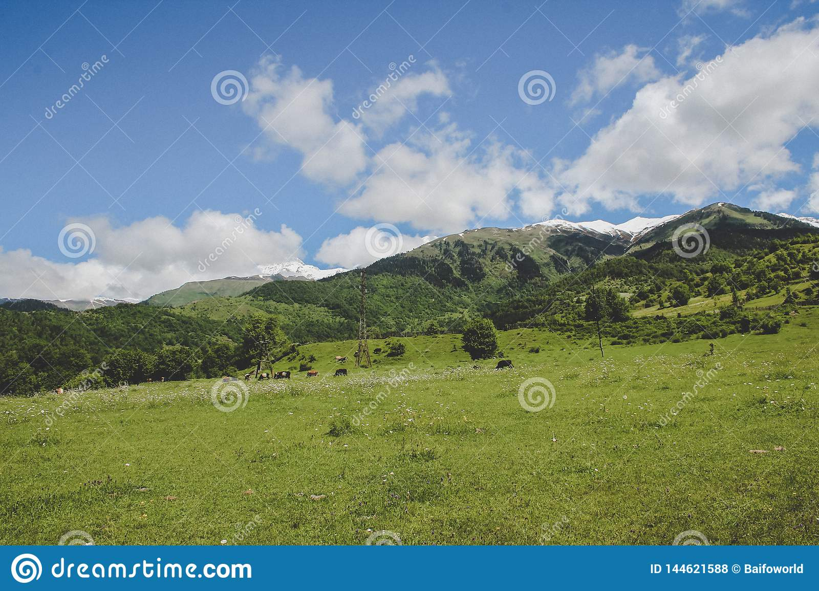 herd of cows eating in the Caucasus mountains in Georgia