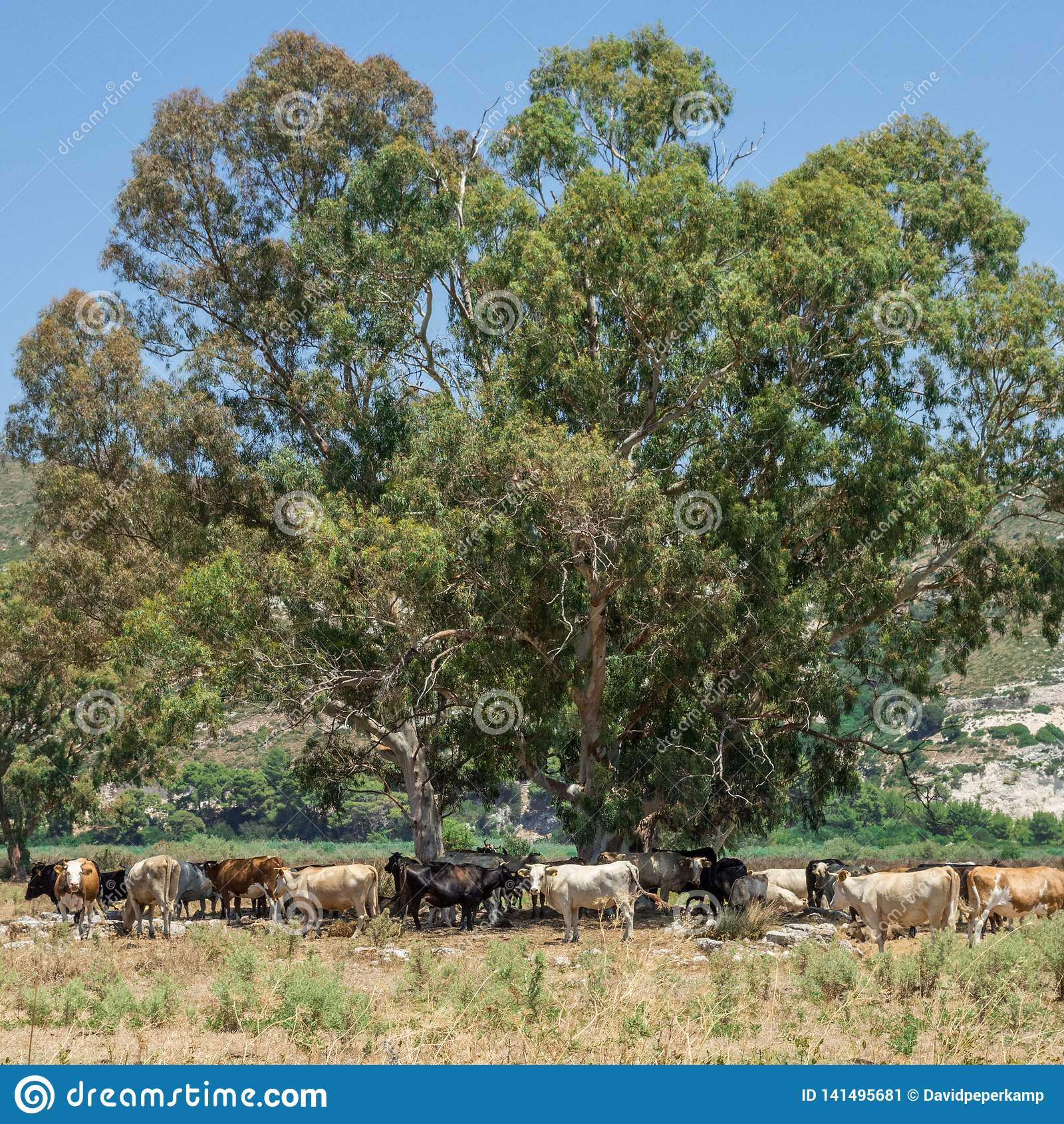 Herd Of Cows, Kefalonia Greece Stock Image - Image of