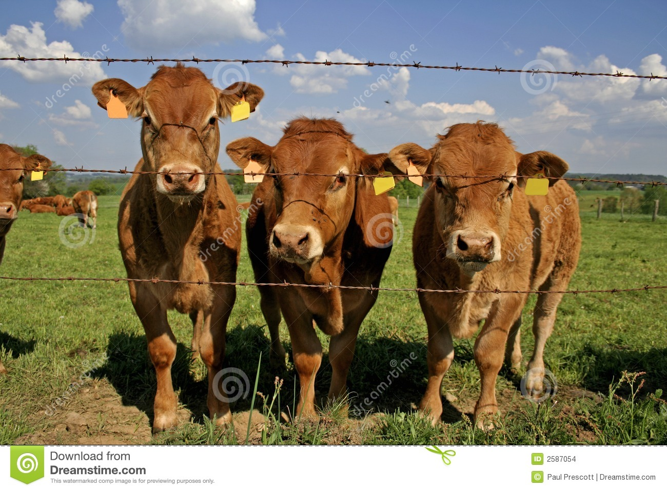 Herd of curious cows in field