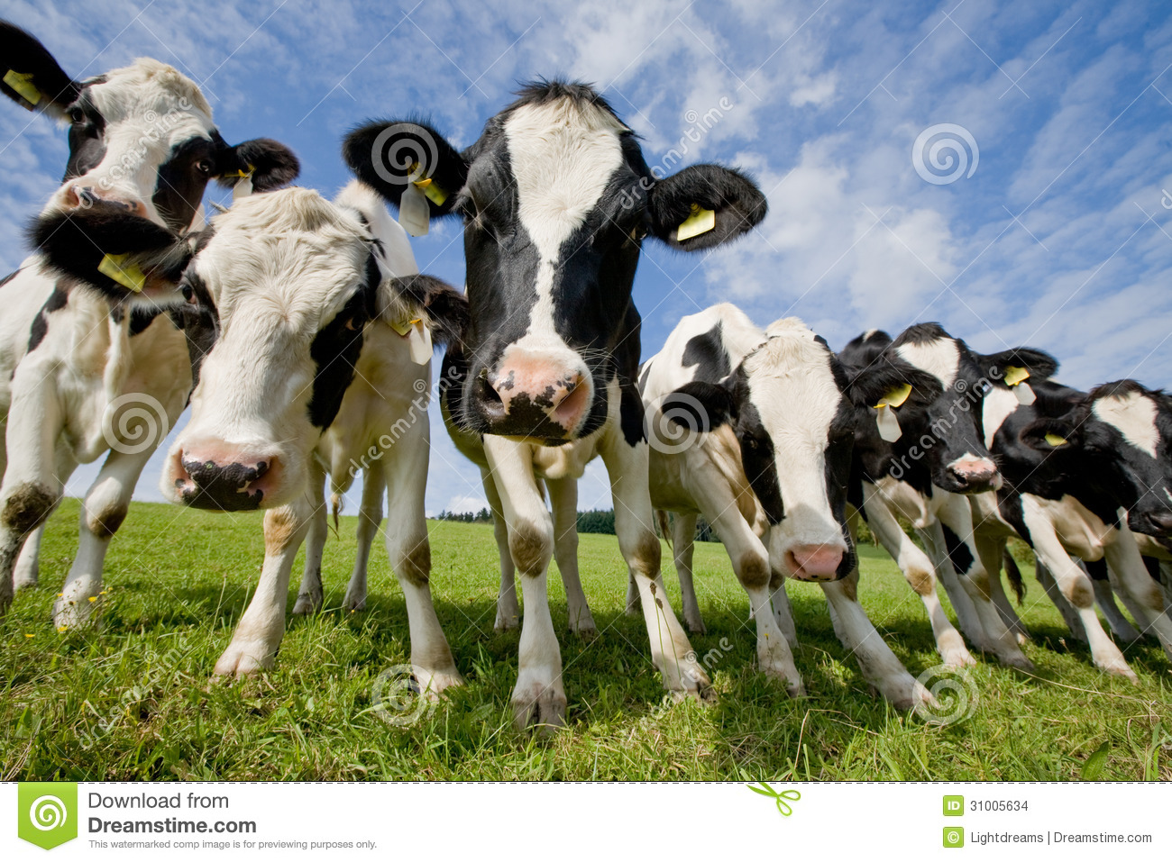 Herd of curious looking black and white german cows standing on a ...