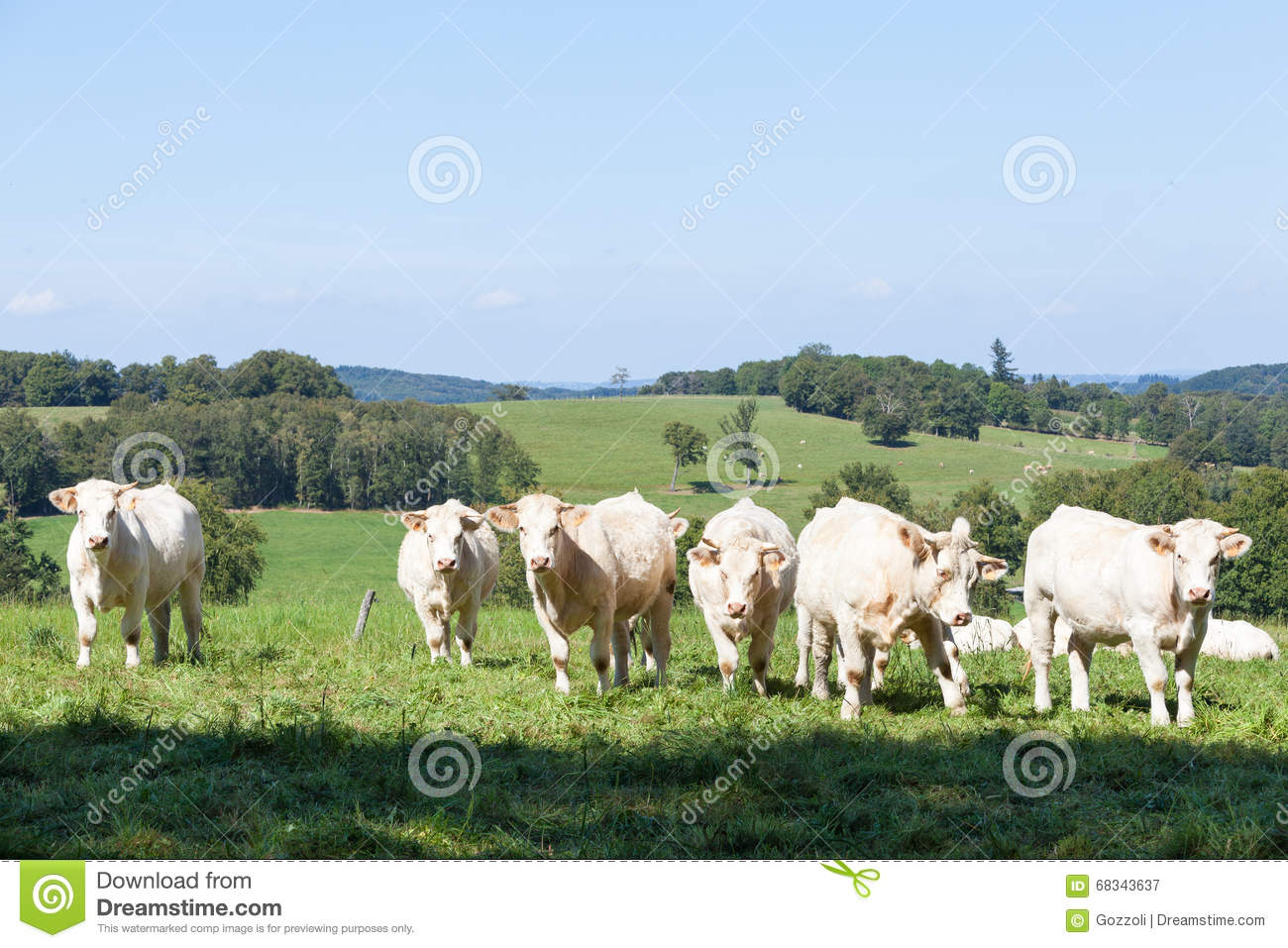 Herd of curious white Charolais beef cattle in a hilltop pasture