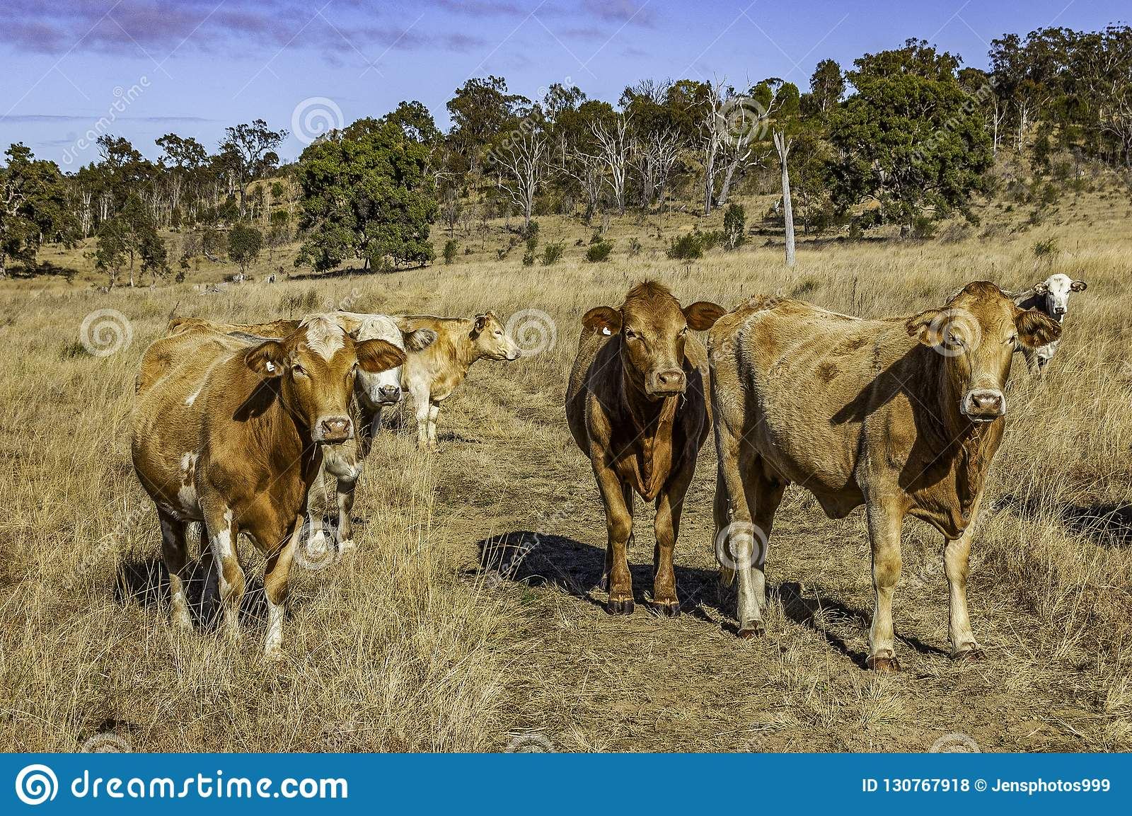 Herd Of Curious Young Charolais Cross Brahman Cattle Stock