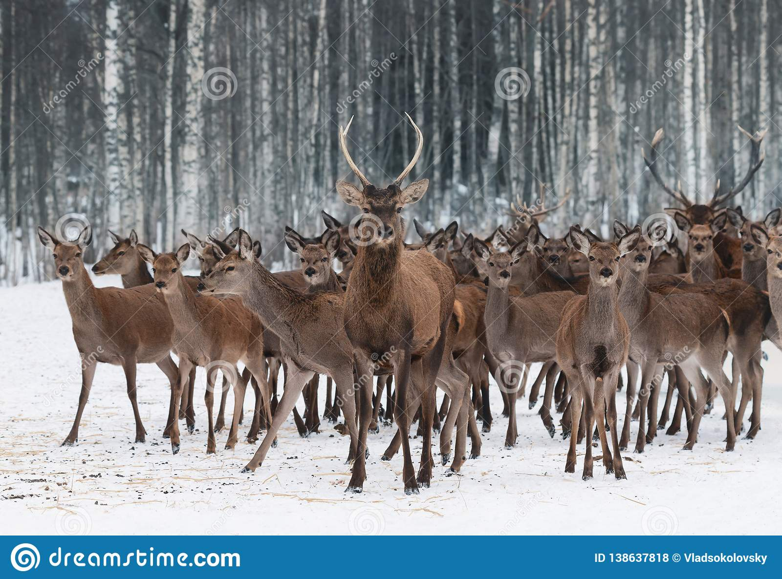 A Herd Of Deer Of Different Sexes And Different Ages, Led By A Curious Young Male In The Foreground.Deer Stag Cervus Elaphus Clo