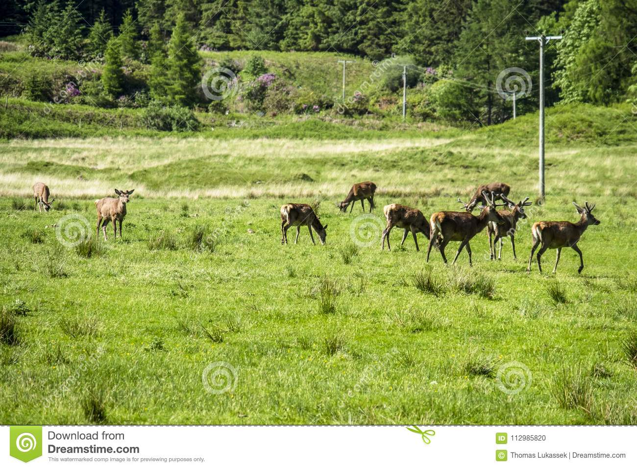 Herd of deers in the scottish highlands