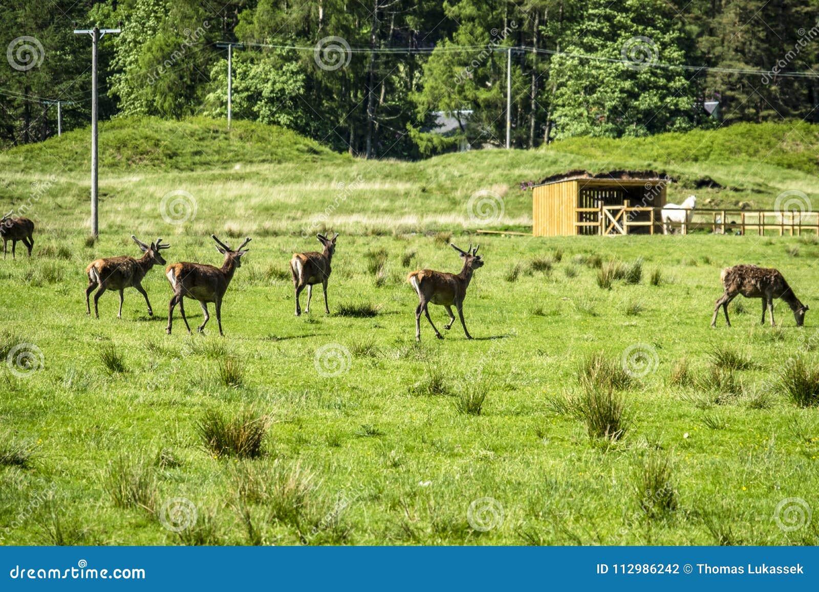 Herd of deers in the scottish highlands
