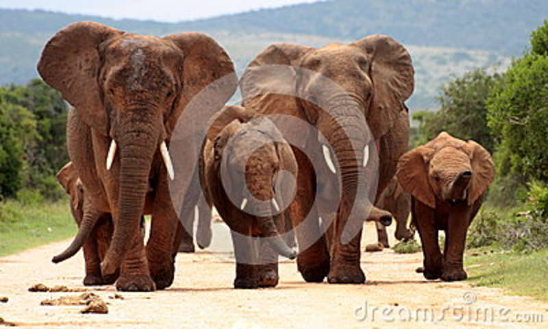 Herd of Elephant in South Africa