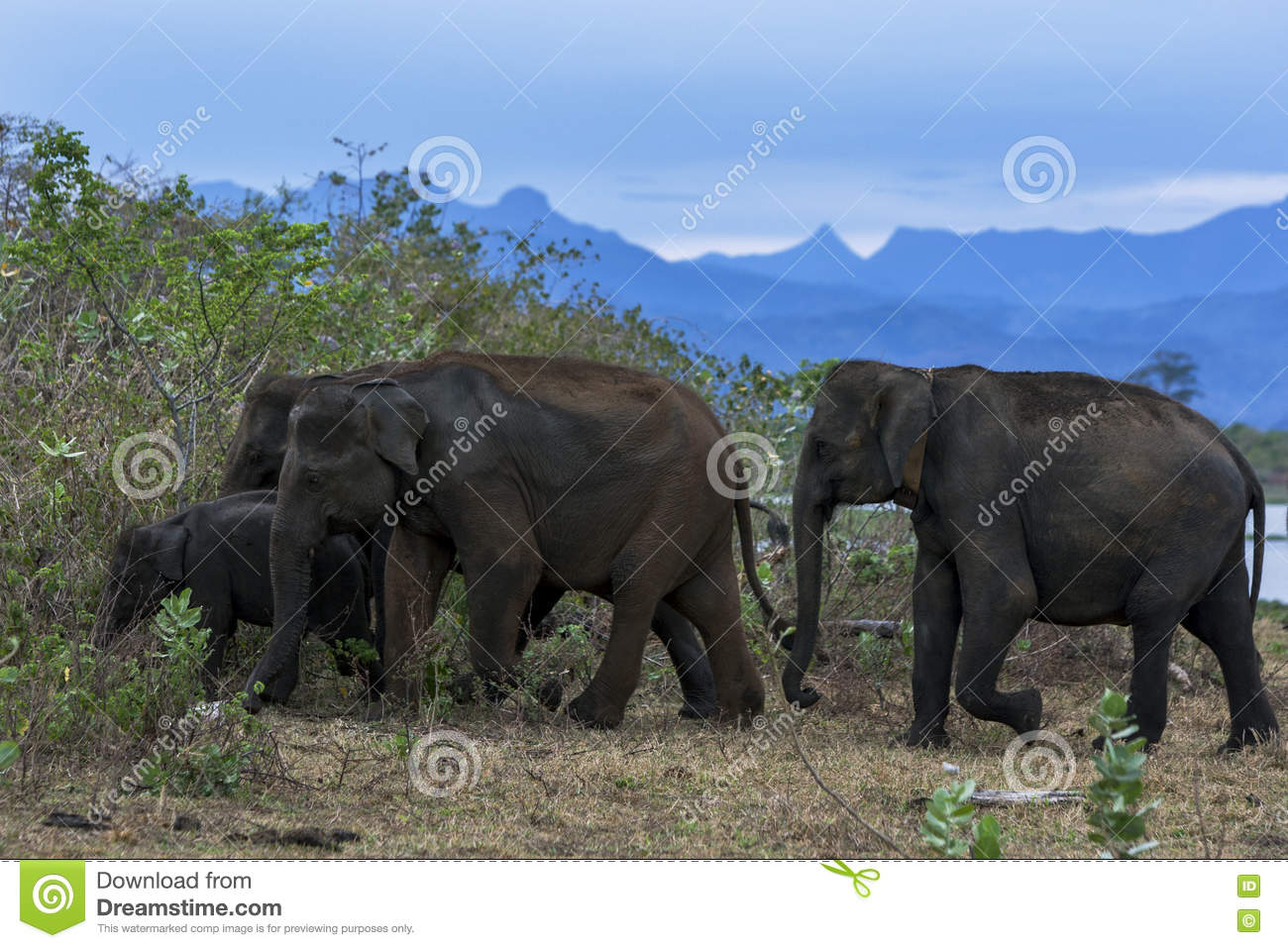 A herd of elephants head into bushland at Uda Walawe National Park.