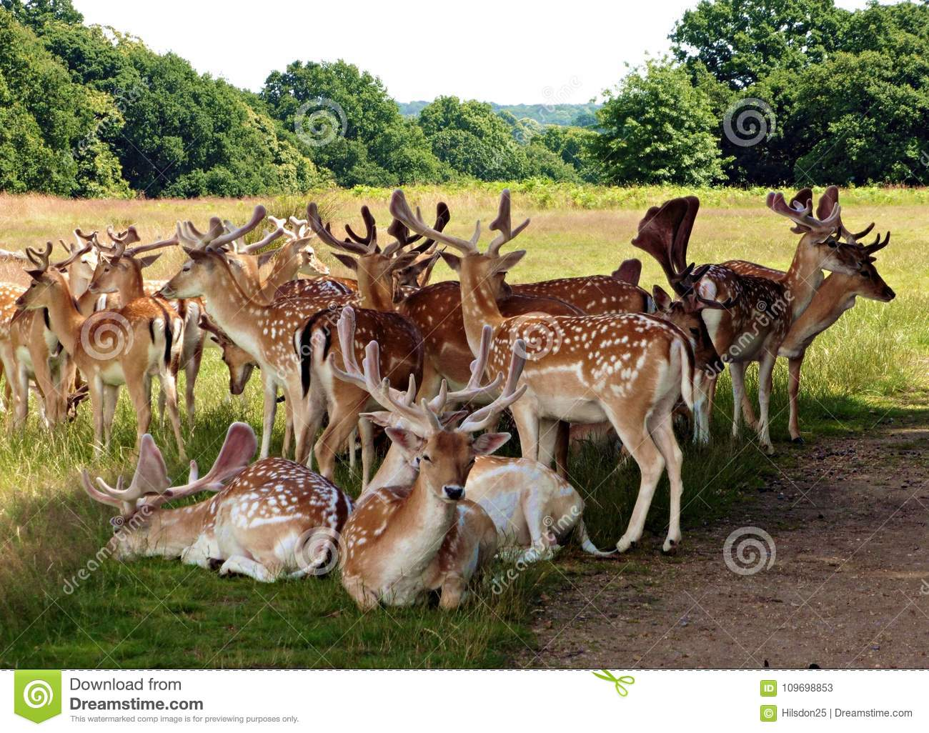 Herd of Fallow Deer in Richmond Park Greater London Uk.