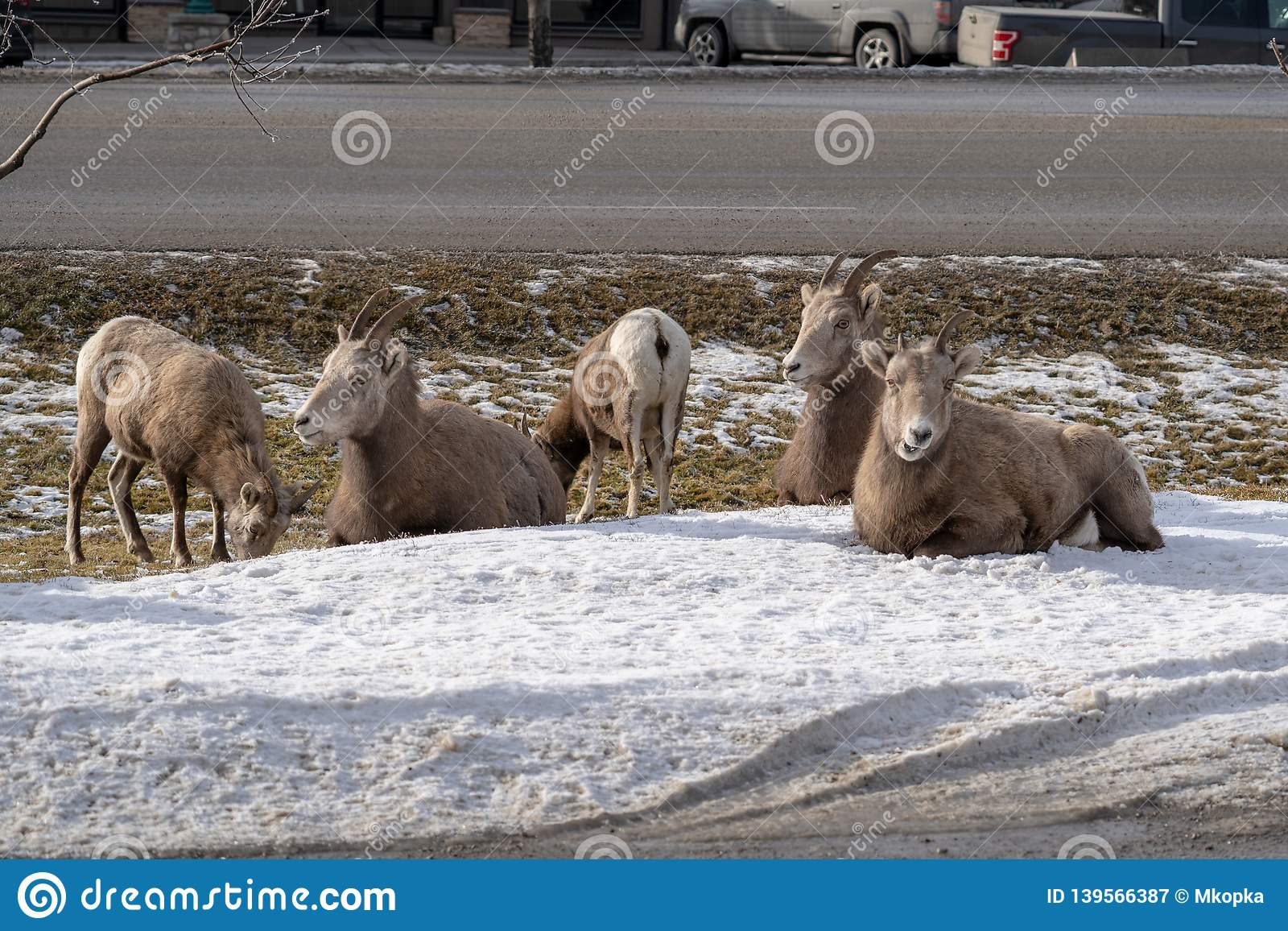 A herd of female ewe bighorn sheep gather, graze and relax in a roadside ditch during winter in Radium Hot Springs British