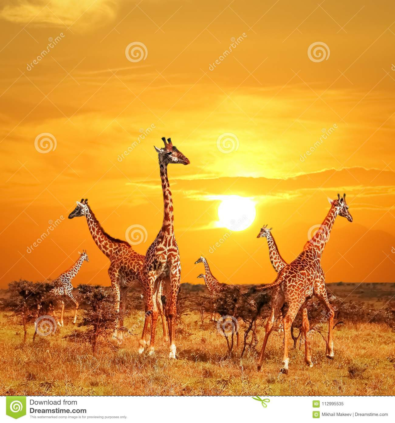 Herd of giraffes in the African savannah against sunset background. Serengeti National Park . Tanzania.