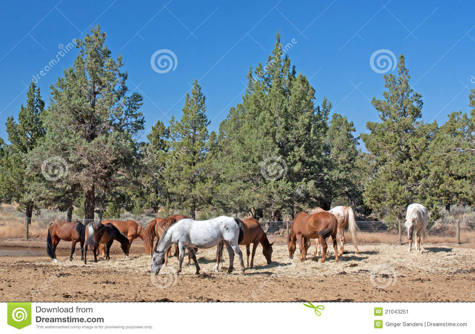 Herd of Horses Grazing Near Juniper