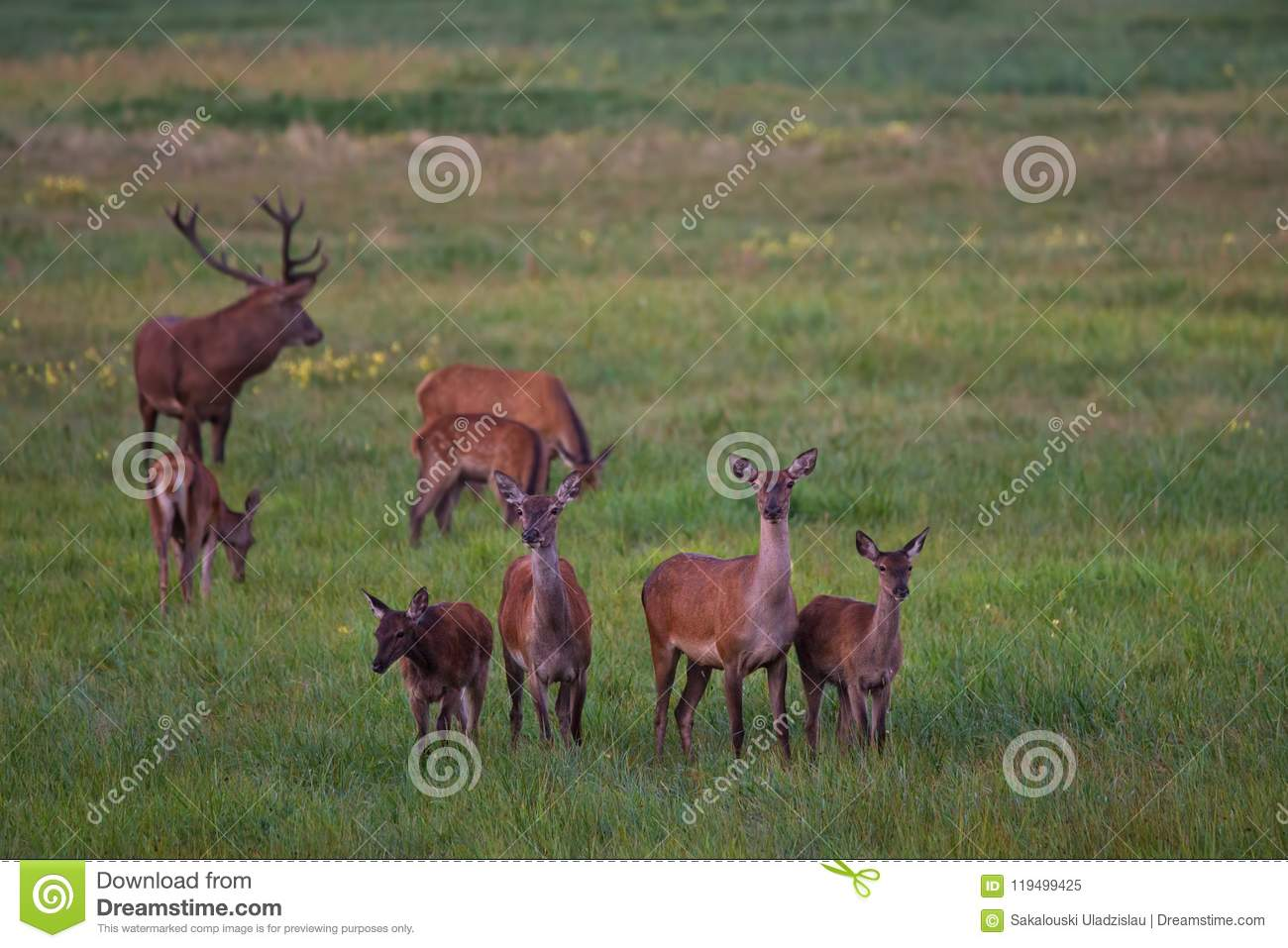 Herd Of Noble Deer Cervidae Graze On A Green Meadow With Dandelions. Eight Different Ages Red Deer: One Stag And Seven Females