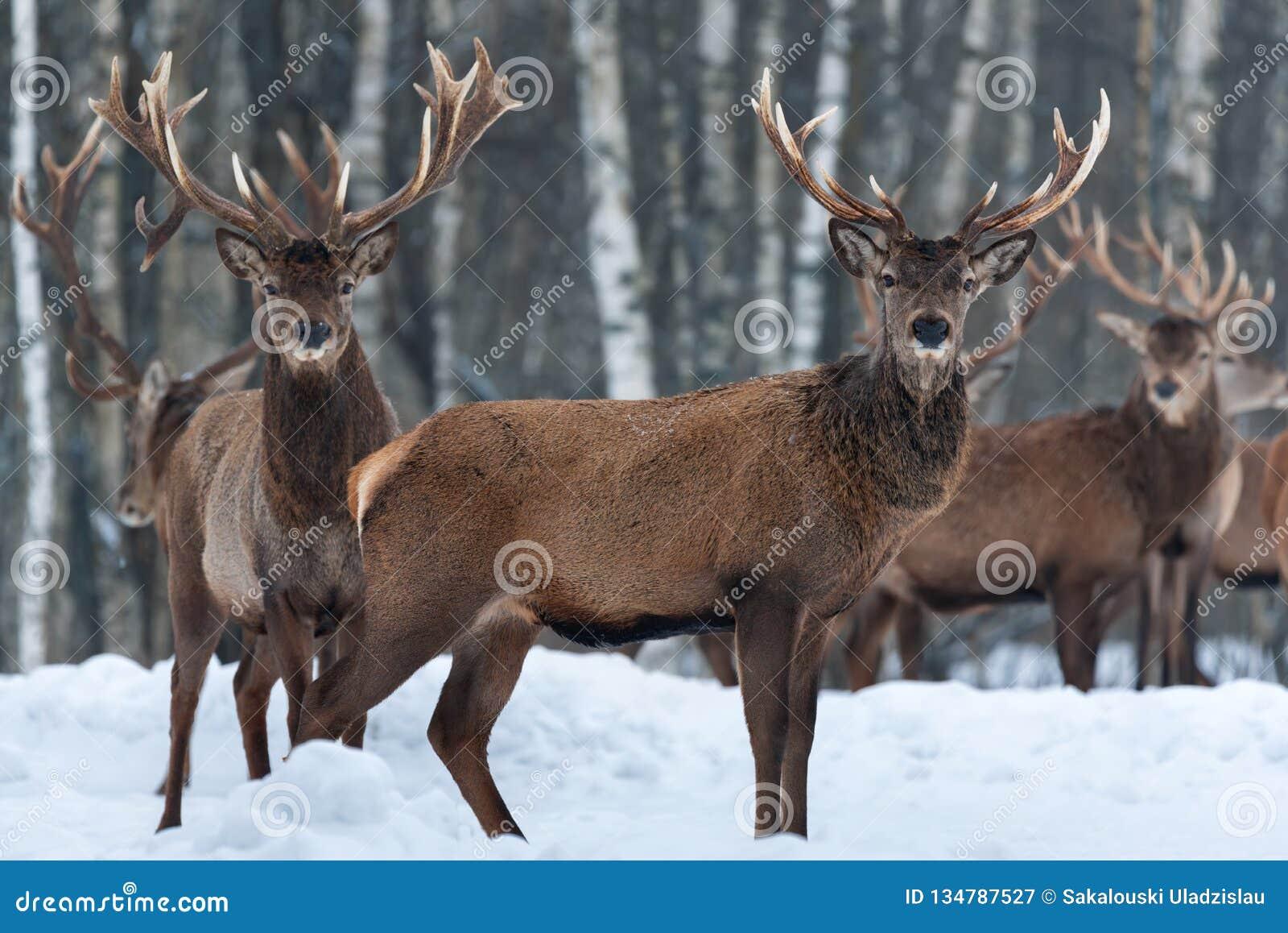 Herd Of Noble Deer Cervus Elaphus In The Natural Habitat In Winter Time: One Buck Stands Sideways In Profile, Others - Front