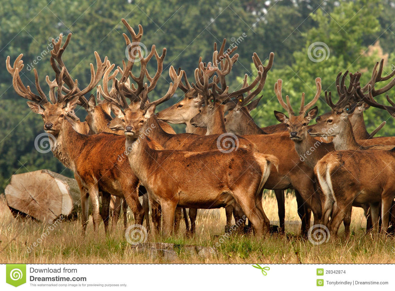 herd of Red Deer stand allert near to woodland in Yorkshire, England ...
