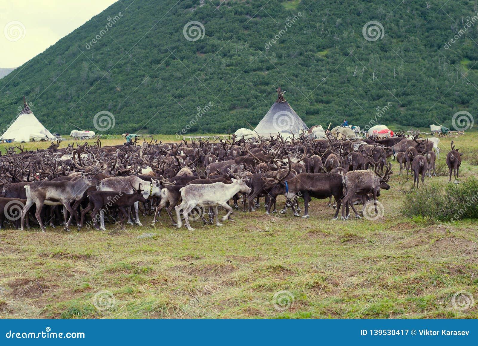 Herd of reindeers at a settlement of nomads reindeer breeders. Yamal