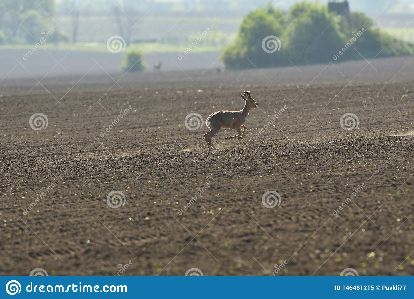 Herd of roe deer running through a farm field in spring
