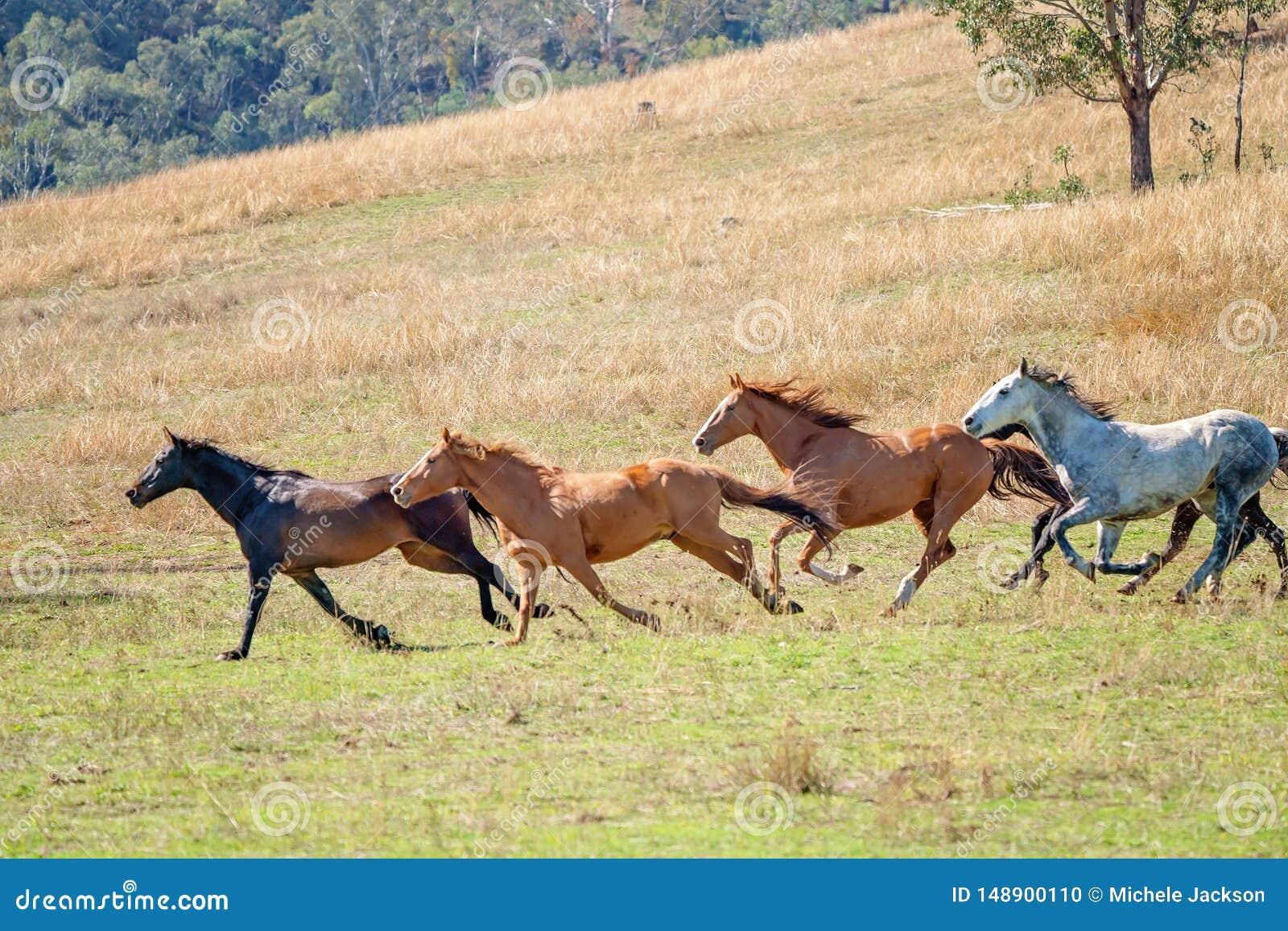 A Herd Of Running Wild Horses Stock Photo Image Of Follow Herd 148900110