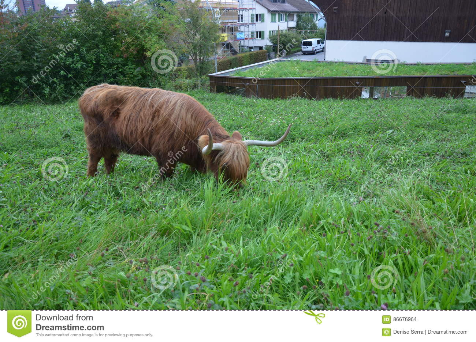 Herd Of Scottish Highland Cattle In Alps. Switzerland ...