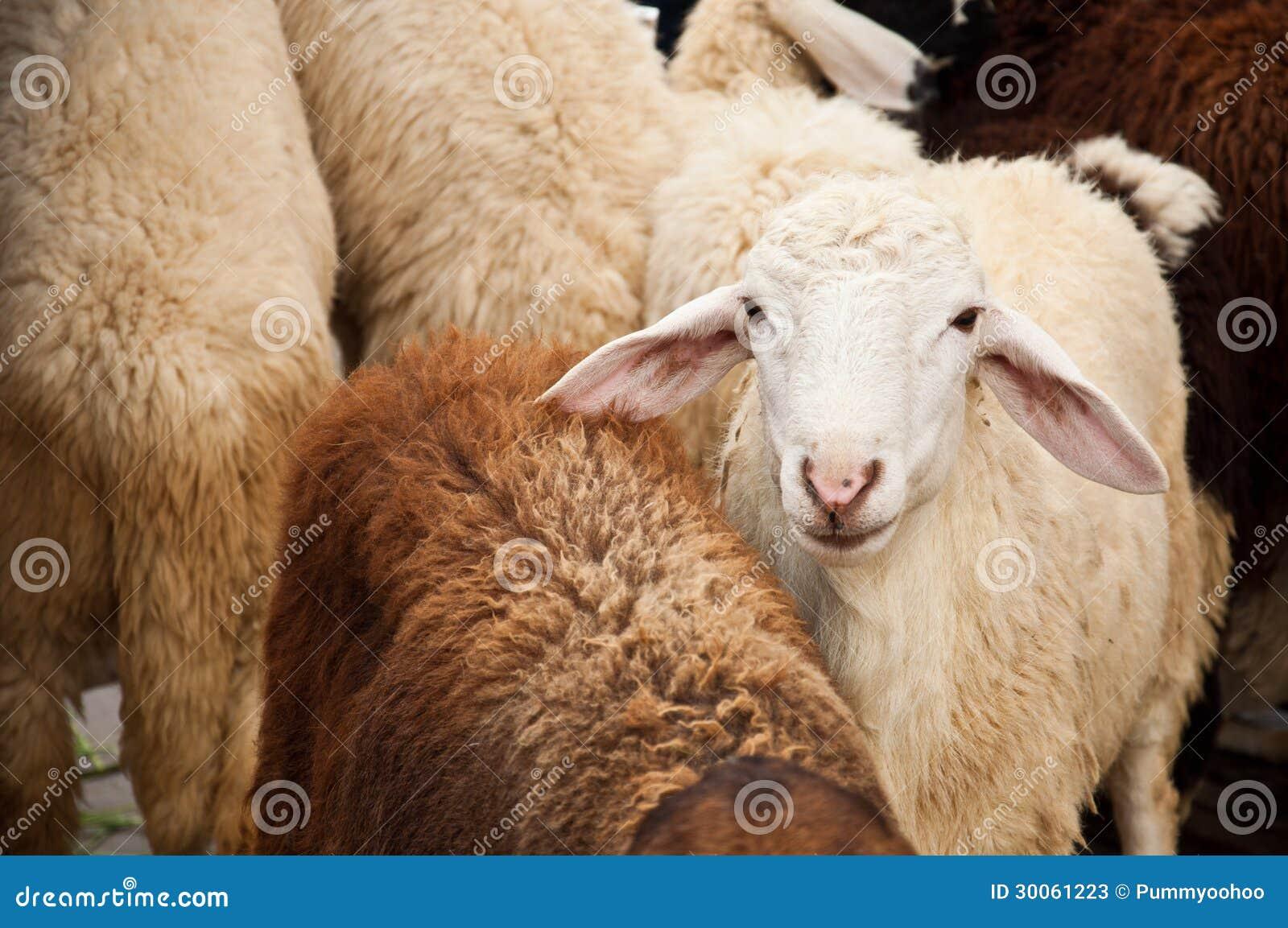 White sheep herd - photo#14