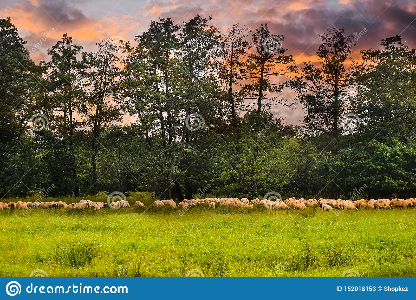 Herd of sheeps grazing on the green field. Styled stock photo with the beautiful pasture and the sheeps in Romania