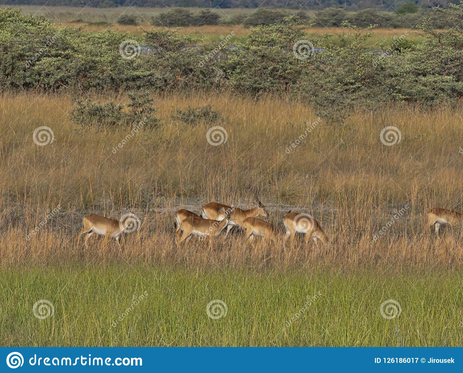Herd Southern lechwe, Kobus leche, in tall grass, at Lake Horseshoe in Bwabwata, Namibia