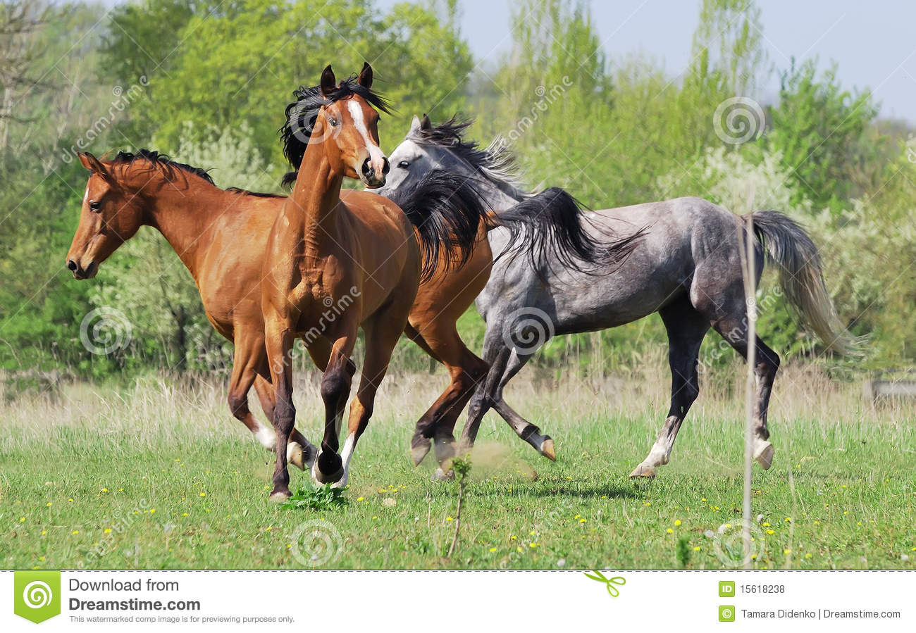 Herd Of Three Arabian Horses Playing On Pasture Royalty