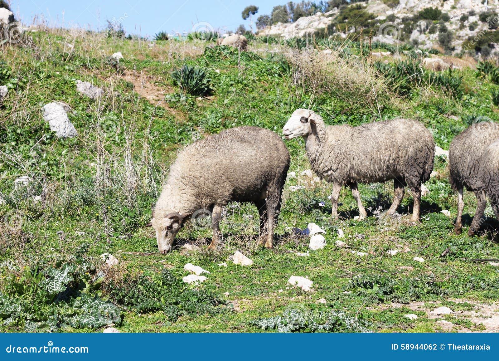 Herd Of White Sheep Stock Photo - Image: 58944062