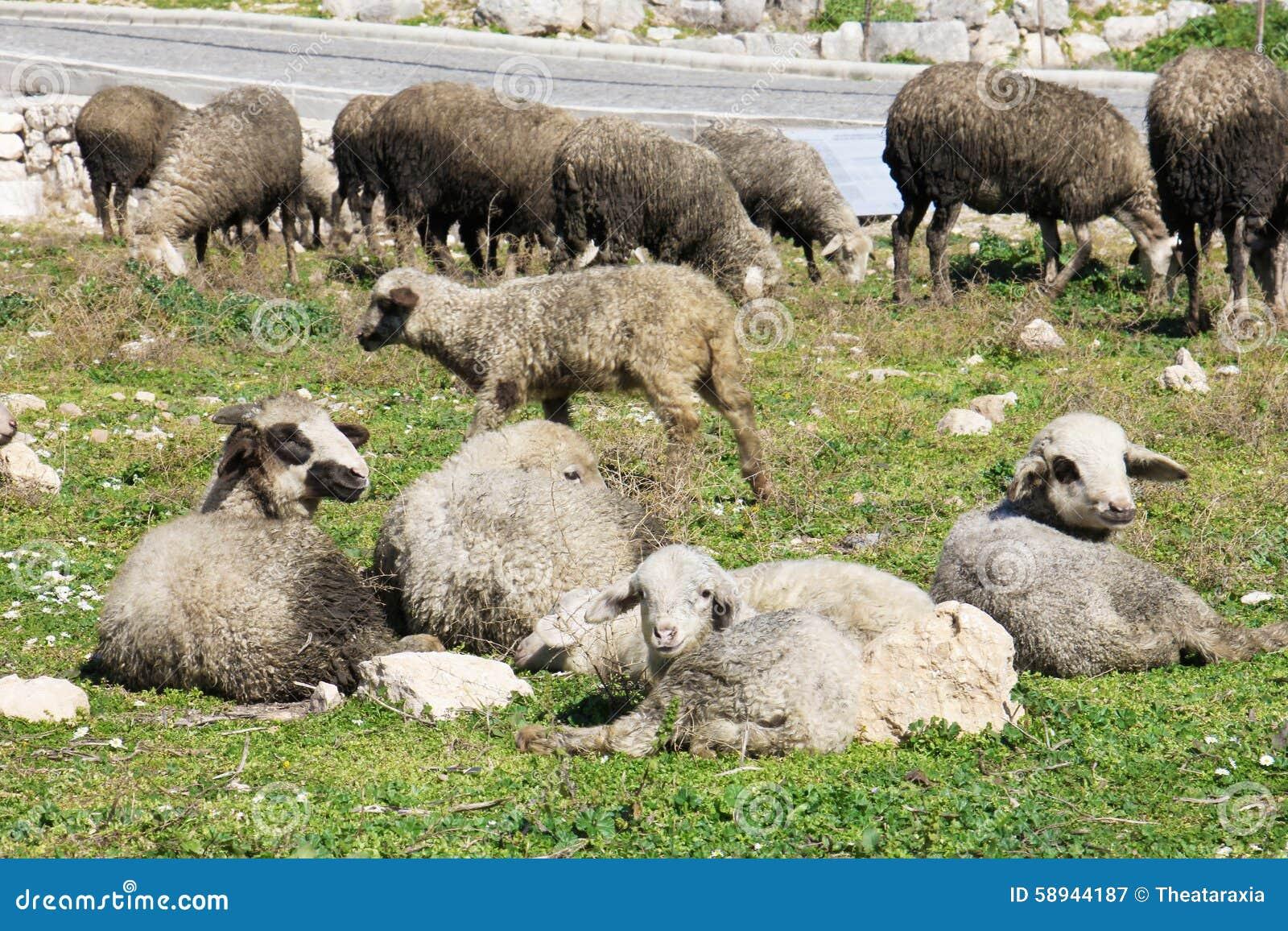 Herd Of White Sheep Stock Photo - Image: 58944187